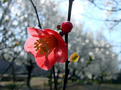 Quince flower on bush